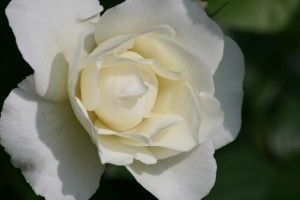 Rosen von Evelyn Metz